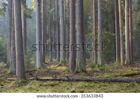 Sunbeam entering rich coniferous forest misty morning with old spruce and pine trees,Bialowieza Forest,Poland,Europe - stock photo