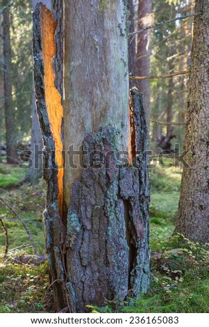 Sunbeam on the bark that dropped from the trunk - stock photo
