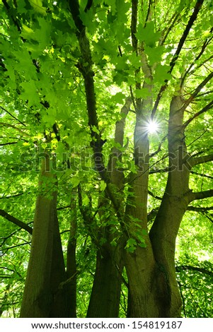 Sunbeam through Big Green Maple Tree - stock photo