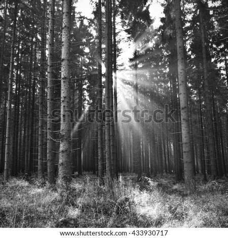 Sunbeams among trees and branches in forest in black and white  - stock photo
