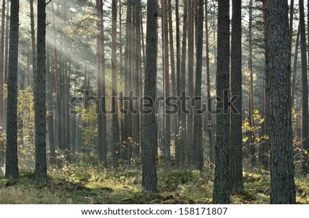 Sunbeams breaking through fog in the woods - stock photo