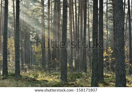 Sunbeams breaking through fog in the woods - stock photo