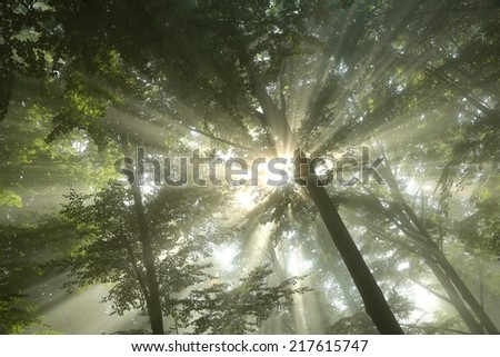 Sunbeams fall into the misty deciduous forest. - stock photo