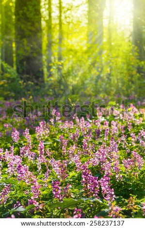 Sunbeams falling on Corydalis flowers in spring forest - stock photo