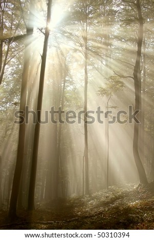 Sunbeams falls into the misty woods with majestic beech trees. Photo taken in early autumn. - stock photo