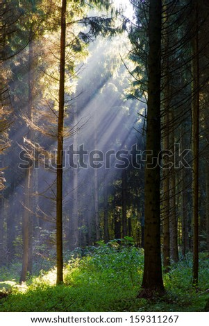 Sunbeams in forest on morning - stock photo