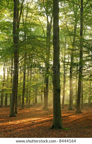 Sunbeams in the morning. Beautiful scenic forest. - stock photo