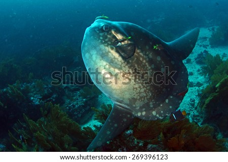 Sunfish Mola Mola in Cleaning station in Galapagos - stock photo