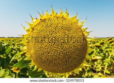 sunflower after flowing - stock photo