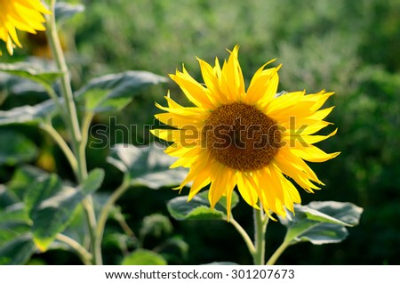 Sunflower against the blue sky on a summer evening - stock photo