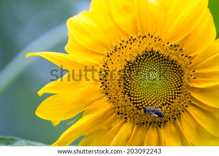 sunflower and bee - stock photo
