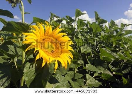 Sunflower and bee. Sunflower, Sunflower blooming, Sunflower field - stock photo