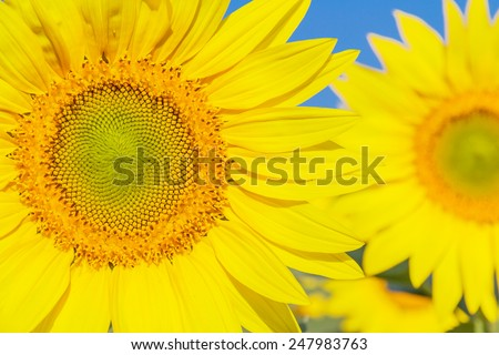 Sunflower and blue sky, Chiang Mai, Northern Thailand. - stock photo