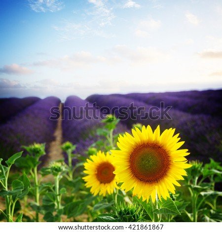 Sunflower and Lavender flowers field, Provence, France, retro toned - stock photo
