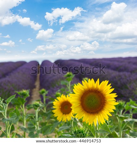 Sunflower and Lavender flowers field under blue sky, Provence, France - stock photo