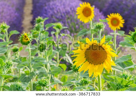 Sunflower and Lavender summer field close up, France - stock photo