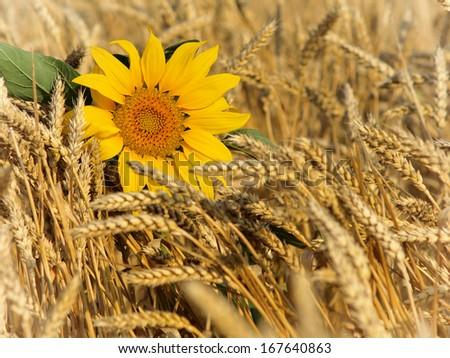 Sunflower and wheat - stock photo