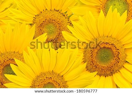 sunflower background - stock photo