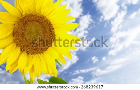 Sunflower. Beautiful sunflower against blue sky - stock photo