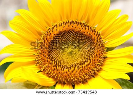 Sunflower bloom. - stock photo