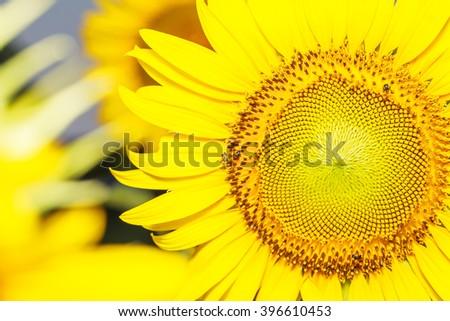 Sunflower blooming morning - stock photo