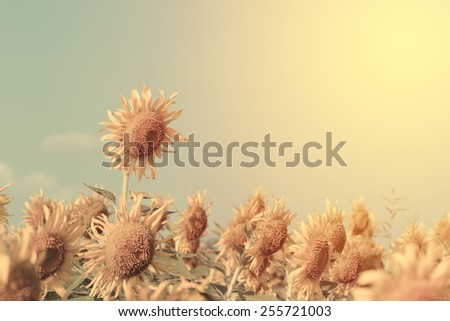 Sunflower blooming . Vintage filter. - stock photo