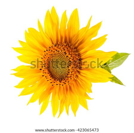 Sunflower. Bright yellow sunflower isolated on white background. - stock photo