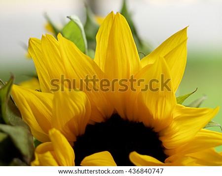 sunflower bud green mustard yellow photograph photo macro up-close background backdrop beautiful pretty unique design laying on its side - stock photo