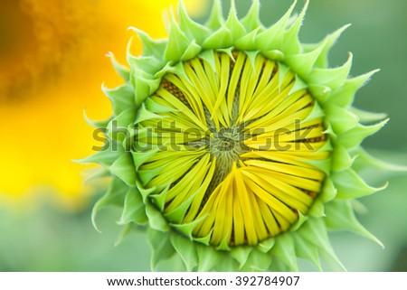 Sunflower close up. Bright yellow sunflowers. Sunflower background. Before flowering sunflower. - stock photo