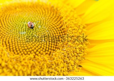 Sunflower close up. Bright yellow sunflowers. Sunflower background. Ladybug on a Sunflower. - stock photo