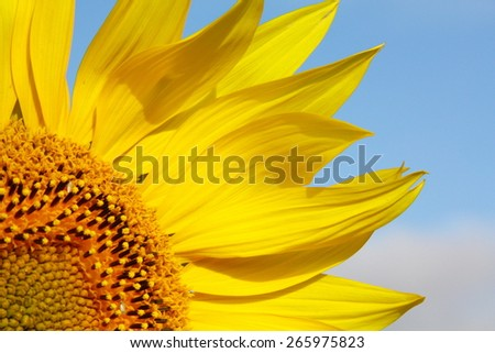 sunflower close-up on a background of blue sky - stock photo