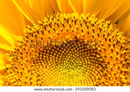 sunflower close-up with copy space - stock photo