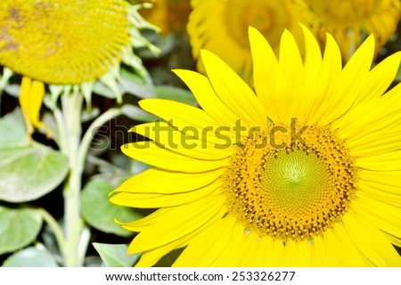 Sunflower close-up with Sun flowers - stock photo