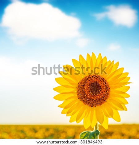 sunflower closeup on field and white clouds in blue sky. soft focus - stock photo
