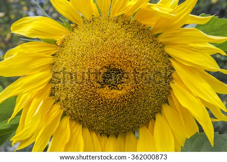 Sunflower closeup. Yellow sun flower. The green background. The beauty of nature. Positive and bright background. - stock photo
