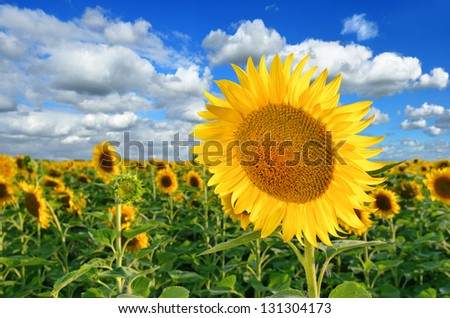 Sunflower field against a cloudy blue sky - stock photo