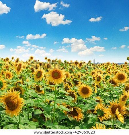 Sunflower field and blue sky - stock photo