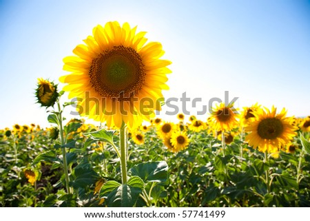 Sunflower field and blue sky background - stock photo