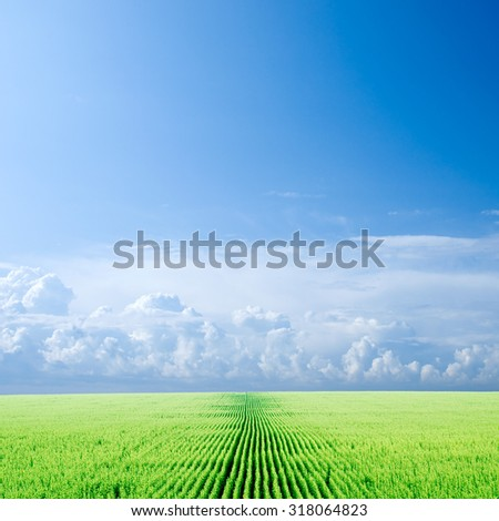 Sunflower field and sky. - stock photo