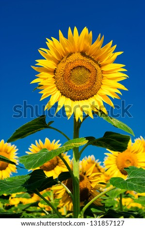 Sunflower field background under blue sky - stock photo