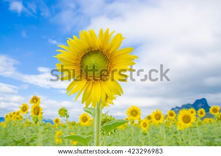 sunflower field bloom blue sky selective focus  bloom  in the field The most beautiful  in a field yellow flower yellow flora blossom  - stock photo