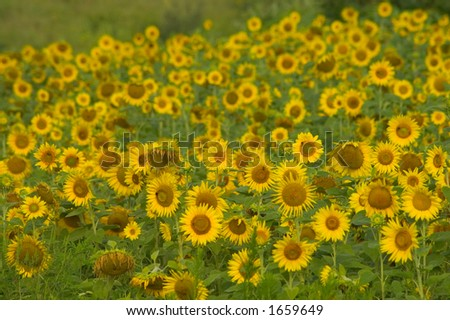 Sunflower field in the morning - stock photo