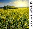 sunflower field over blue sky with sun - stock photo