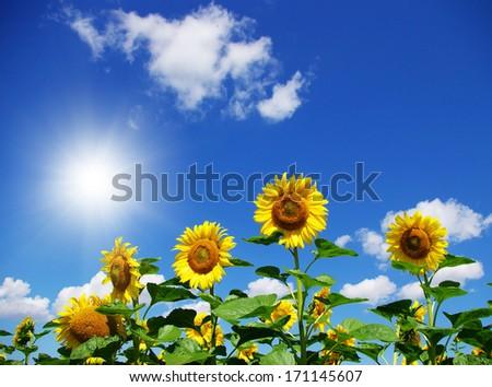 sunflower field over cloudy blue sky - stock photo