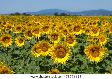 Sunflower field, Provence France - stock photo