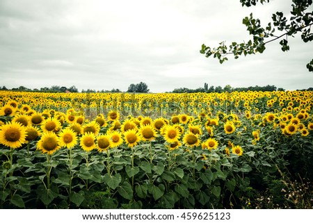 Sunflower field With Bright Sky - stock photo