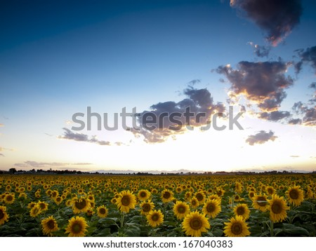 Sunflower field with the Longs Peak, Colorado view on forground  at sunset. - stock photo