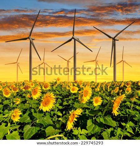 Sunflower field with wind turbines at sunset  - stock photo