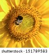 Sunflower flower and bee macro shot - stock photo