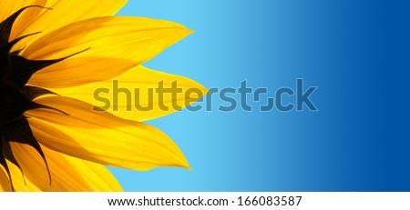 Sunflower flower over blue gradient background - stock photo